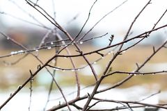 Withered tree branch with water droplets Royalty Free Stock Photography