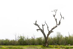 Withered tree in the swamp. A withered tree in the swamp against white background royalty free stock image