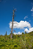 Withered tree under blue sky Stock Photos
