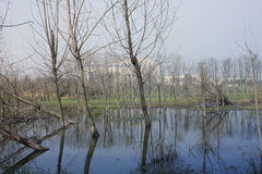 Withered trees without any leaves  standing on the flooded pool Stock Images