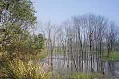 Withered trees without any leaves  standing on the flooded pool(Jiaxing,China) Royalty Free Stock Image