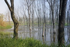 Withered trees without any leaves  standing on the flooded pool(Jiaxing,China) Stock Photography