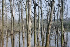 Withered trees without any leaves  standing on the flooded pool(Jiaxing,China) Royalty Free Stock Photos