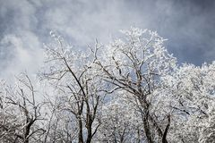 Withered Trees Covered With Snow Under Cloudy Sky Royalty Free Stock Photo