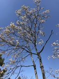 Withered trees in spring royalty free stock photos