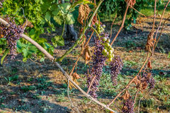 withered and unripe grapes Royalty Free Stock Images