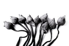 Withered Water lily or lotus Flowers on black and white. Stock Photos