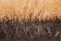 Withered wheat germ Royalty Free Stock Image