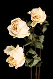 Withered white roses Stock Photos