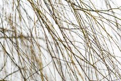 Withered willow branches Royalty Free Stock Photography
