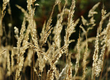 Withered yellow reed Royalty Free Stock Images