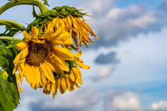 Withered yellow sunflower Stock Photo