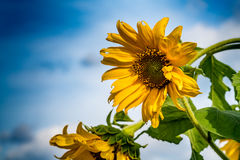 Withered yellow sunflower Royalty Free Stock Image