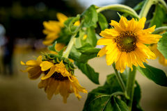 Withered yellow sunflower Stock Images
