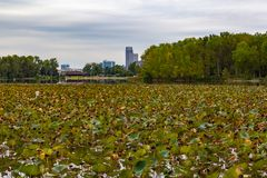 Withering field of Lotus on lake Carter Iowa in early fall. Withering field of Lotus on lake Carter Iowa with early fall colors of the surrounding forest. Note stock images