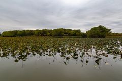 Withering field of Lotus plants on lake Carter Iowa in early fall. Withering field of Lotus plants on lake Carter Iowa with early fall colors of the surrounding royalty free stock photo
