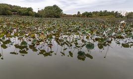 Withering field of Lotus on lake Carter Iowa in early fall. Withering field of Lotus on lake Carter Iowa with early fall colors of the surrounding forest stock photo