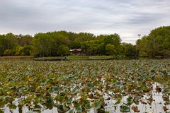 Withering field of Lotus plant on lake Carter Iowa in early fall. Withering field of Lotus plant on lake Carter Iowa with early fall colors of the surrounding stock images