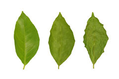 Withering of lemon leaf. Three stages of withering of the same lemon leaf Stock Photography