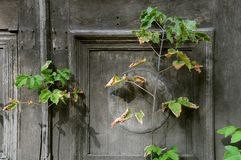 Withering Plant Against Shabby Door Background Royalty Free Stock Photo