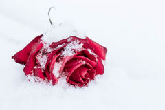 Withering red rose on white snow Royalty Free Stock Image