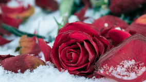 Withering red rose on white snow Royalty Free Stock Photo
