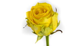 Withering yellow rose Royalty Free Stock Photos