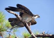 白鹭的羽毛在树枝的witih鲭鱼 免版税图库摄影