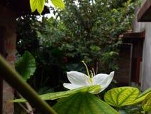 Witka kwiat obrazy royalty free