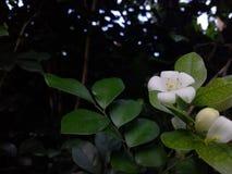 Witka kwiat zdjęcia royalty free