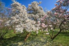 Witka niesie magnoliowych drzewa i różowi zdjęcia stock