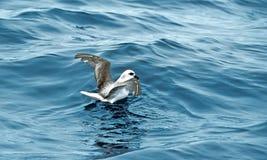 Witkopstormvogel, White-headed petrel, Pterodroma lessonii. Witkopstormvogel, White-headed petrel stock images