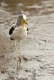 Witkruinkievit, White-headed Lapwing, Vanellus albiceps. Witkruinkievit, White-headed Lapwing stock photography