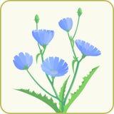 Witlof blauwe bloemen stock fotografie