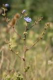 Witlof (Cichorium-intybus) installatie in bloem royalty-vrije stock foto
