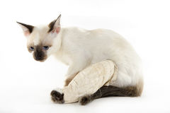 witn do gato um pé quebrado em um fundo branco Fotos de Stock