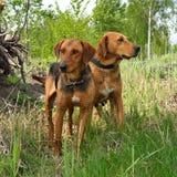 Witrussische Gonchak-hond Royalty-vrije Stock Afbeeldingen
