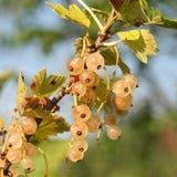 Witte aalbessen - Ribes-niveum Stock Foto
