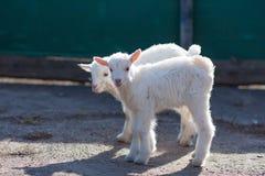 Witte aardige kleine goatlings die de wereld onderzoeken stock afbeeldingen