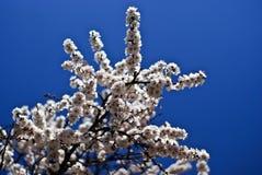 Witte abrikozenbloemen royalty-vrije stock foto's