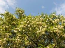 Witte acaciabloemen Royalty-vrije Stock Afbeelding