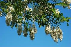Witte acaciabloemen Royalty-vrije Stock Foto's