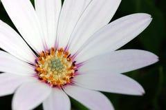 Witte Afrikaanse Daisy (Osteospermum) Royalty-vrije Stock Foto's