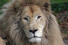Witte Afrikaanse leeuw stock foto