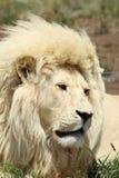 Witte Afrikaanse Mannelijke Leeuw stock afbeelding