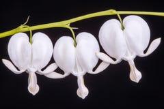 Witte Aftappende hartbloem tegen zwarte achtergrond Royalty-vrije Stock Fotografie