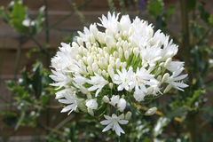 Witte Agapanthus Royalty-vrije Stock Afbeelding