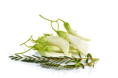 Witte Agasta, Thaise groente op witte achtergrond Royalty-vrije Stock Fotografie