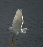 Witte Aigrette Stock Afbeelding