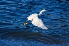 Witte aigrette die met blauwe waterachtergrond vliegen Stock Afbeeldingen